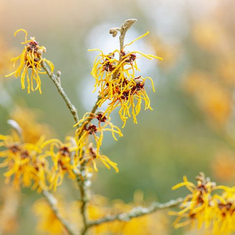 Does witch hazel disinfect?