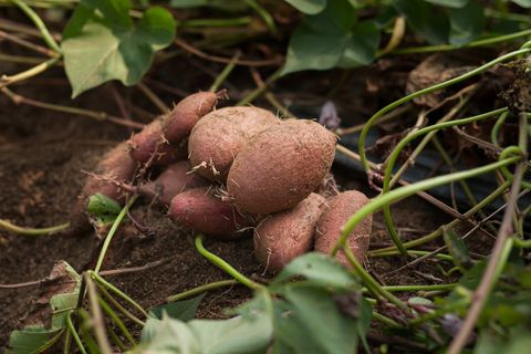 organic sweet potato harvest on the farm or in the vegetable patch