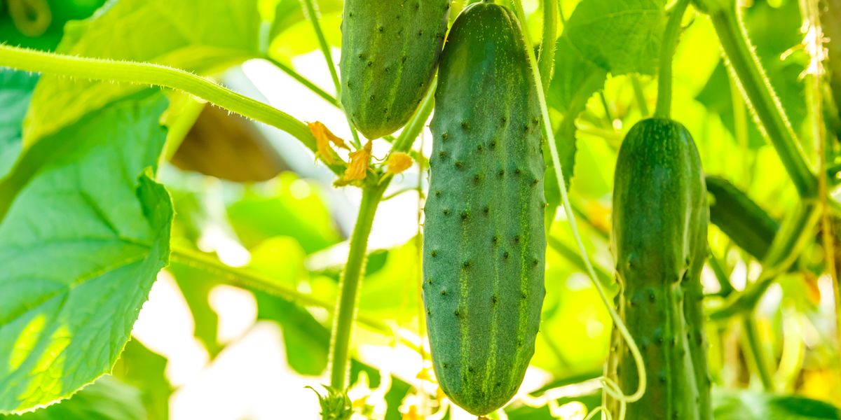 Everything You Need to Know About Growing Cucumbers