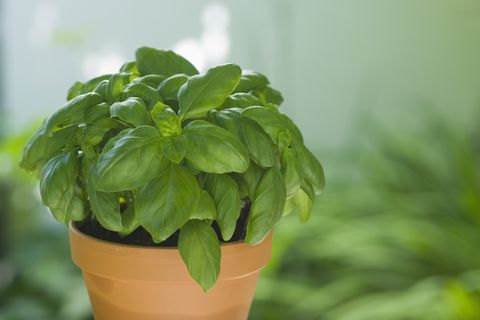 potted basil, close-up