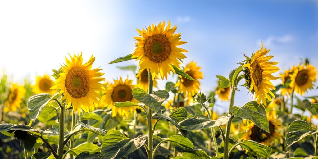 How to Grow and Use Sunflowers