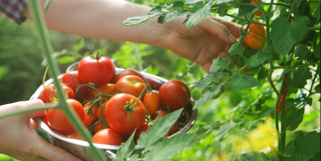 Plant and Grow Tomatoes