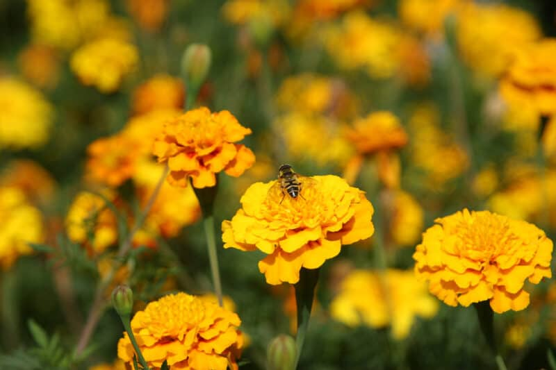 How to Grow Marigolds in Your Garden for Food and Pest Control