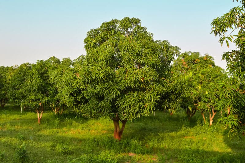 Mango tree care