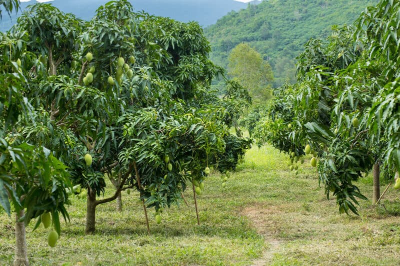 How to Grow Mango Trees in Your Home Orchard