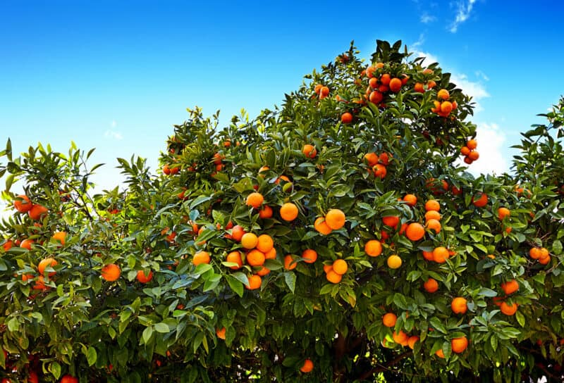 How To Grow Tangerine Tree No Matter Where You Live