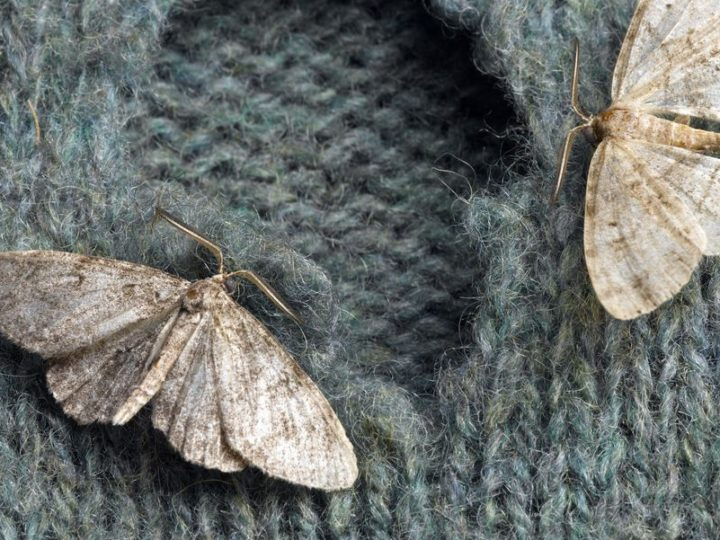 How to Get Rid of Moths in the House