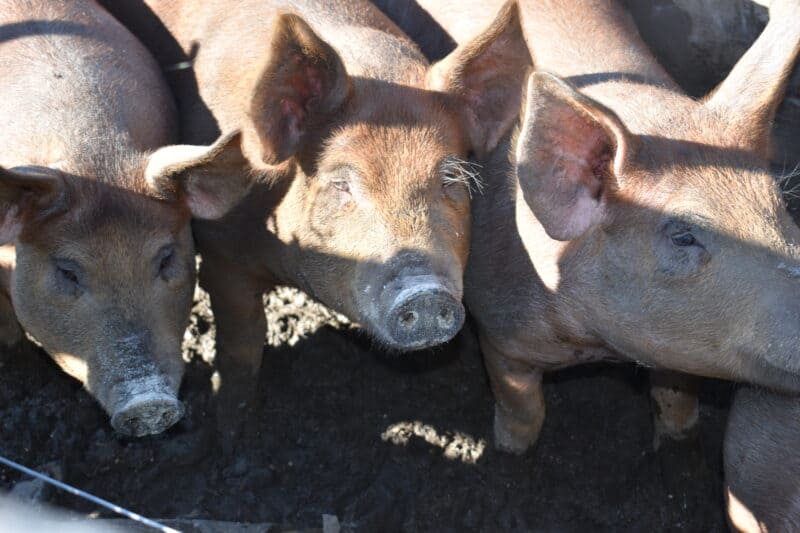 Hardy and Fast-Growing Pig