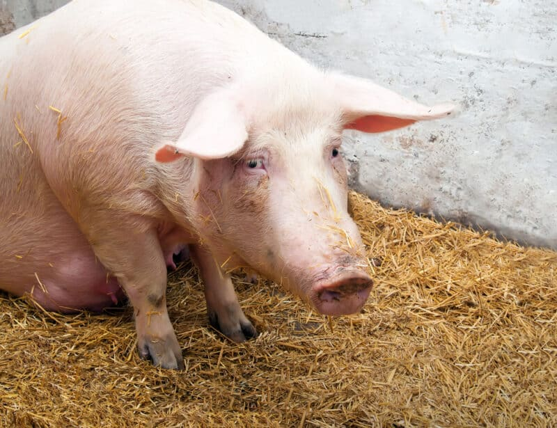 What Is It and Tips To Prevent and Treat This Swine Disease