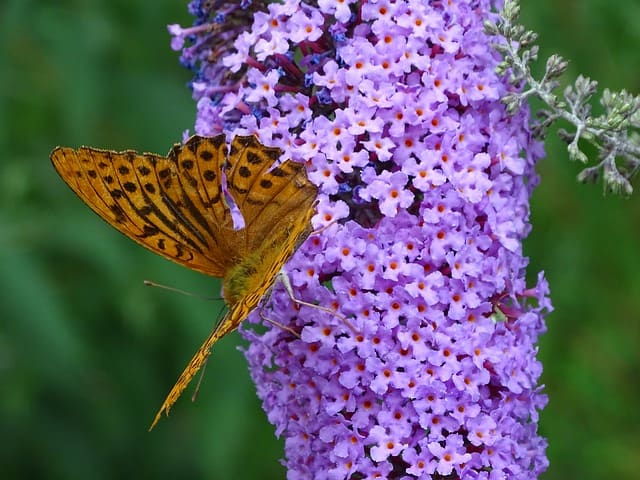 7 Lilac is popular with pollinators
