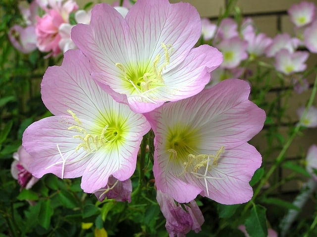 2 Evening Primrose flowers are usually yellow