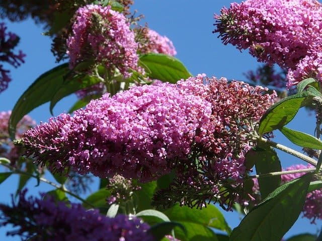 1 Colorful and fragrant butterfly bush