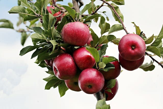 1 Red Apples