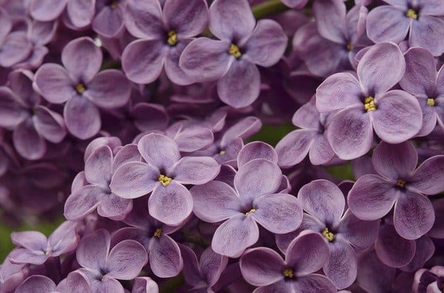 1 The fragrant flowers of the lilac bush