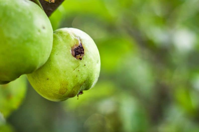 Why Is My Fruit Tree Dying? Common Fruit Tree Pests and Diseases