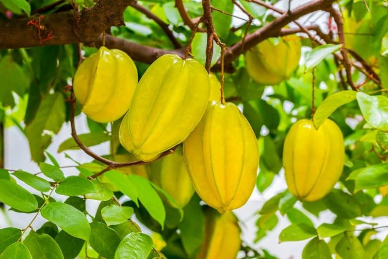 How to Succeed at Growing Starfruit Trees in Your Backyard