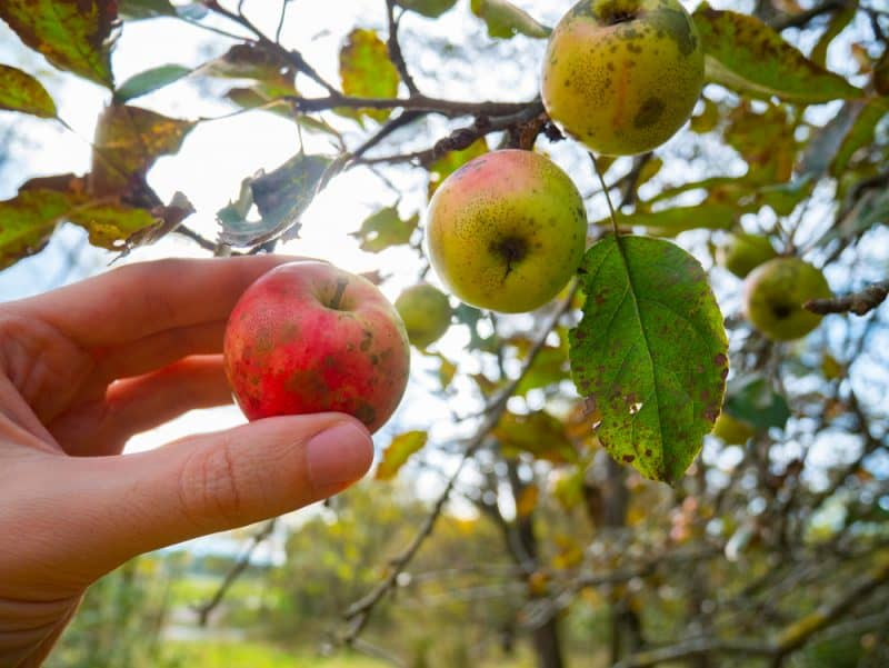 8 Common Apple Tree Diseases and Basic Preventative Tips