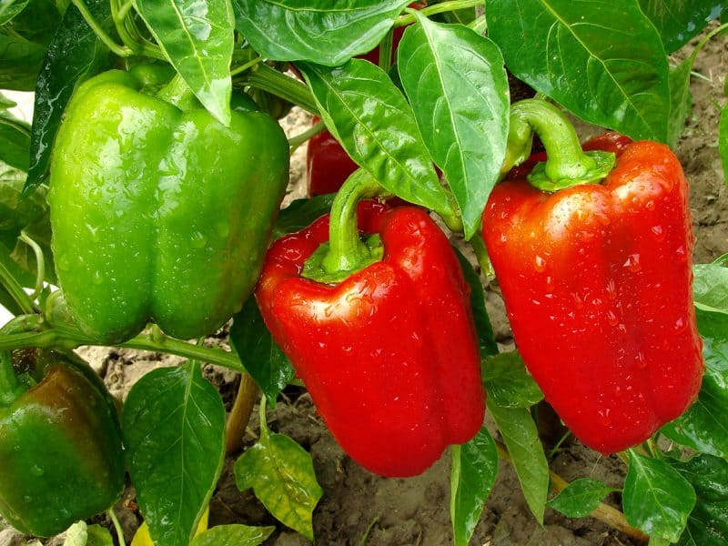 16 Best Pepper Varieties to Grow in Your Garden