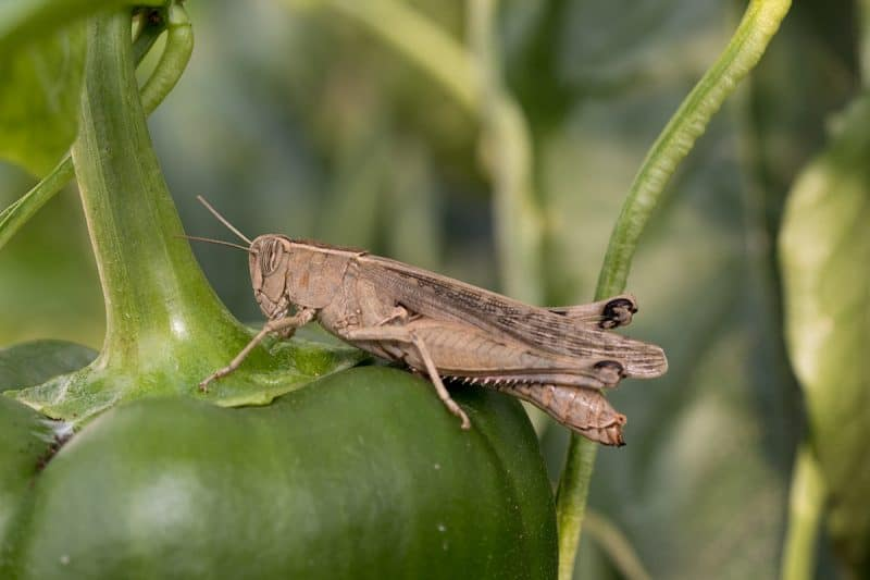 How to Control and Get Rid of Grasshoppers in Your Garden