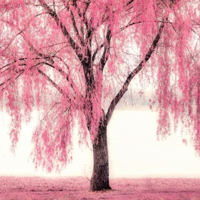 17. Beauty of pink trees