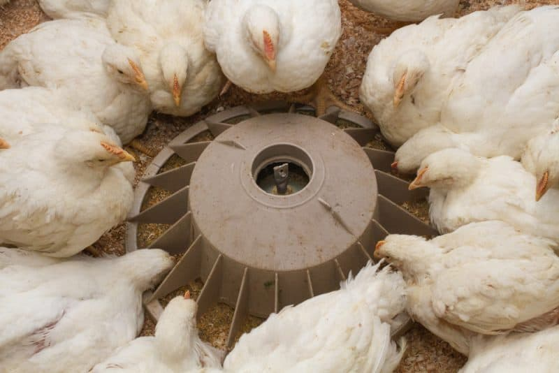 7 Mistakes You Can Make When Raising Them Broiler Chicken