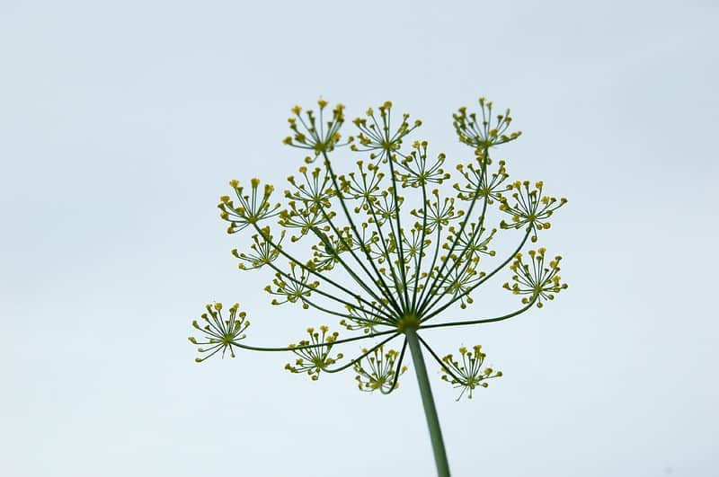 5 Dill Diseases