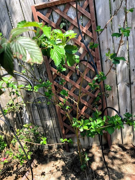 2 Planting mulberry trees near a fence