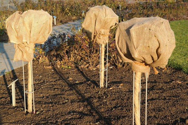 7. Protection of burlap trees