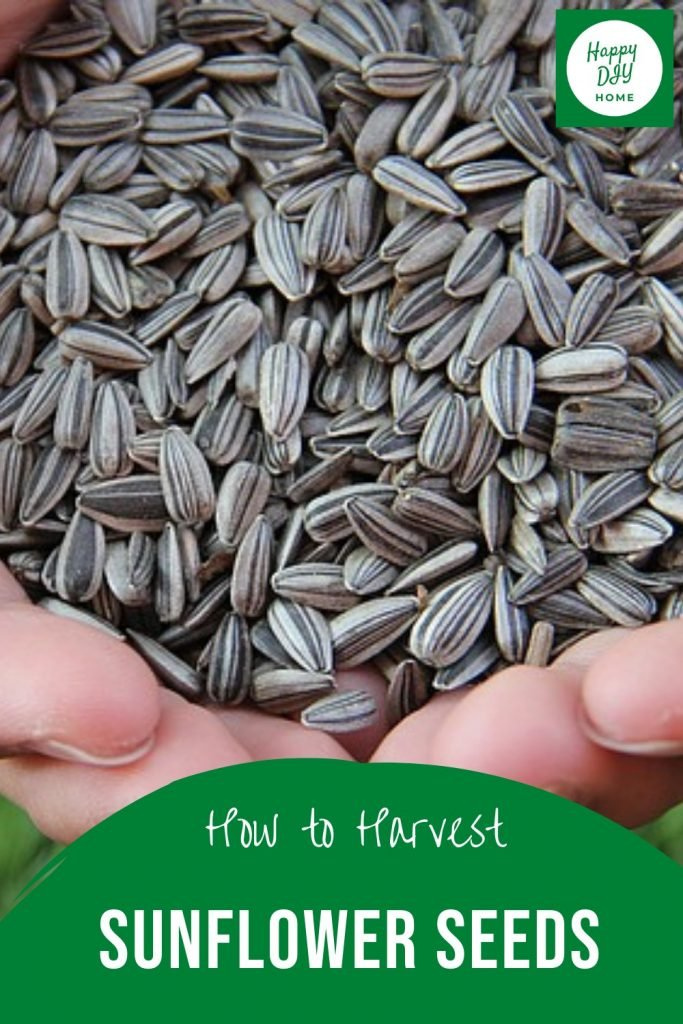 how to harvest sunflower seeds 2