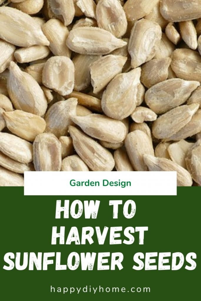 How to harvest sunflower seeds 1