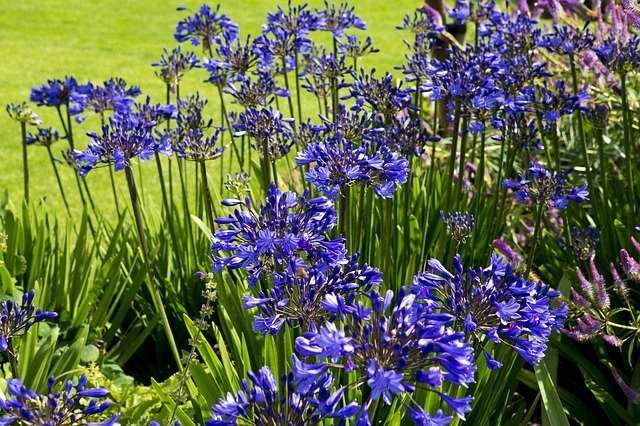 7 Elegant and attractive agapanthus