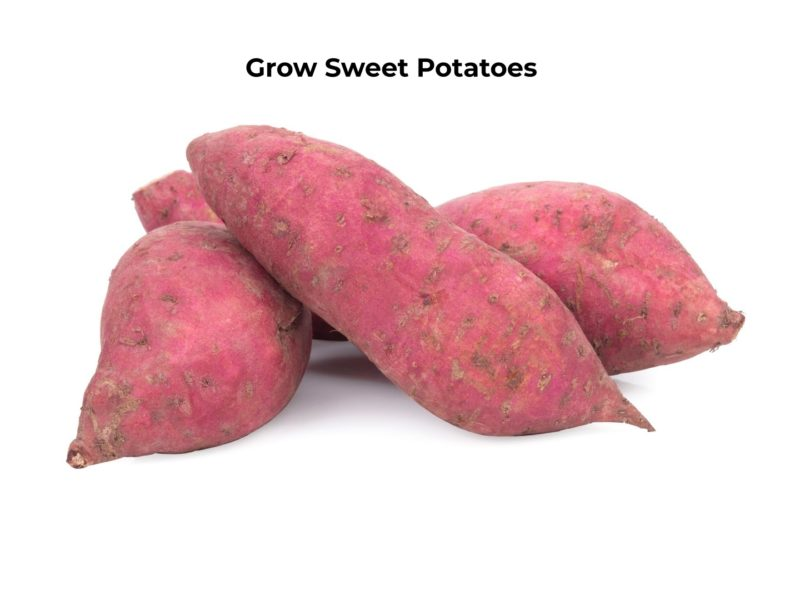 How to grow sweet potatoes in containers