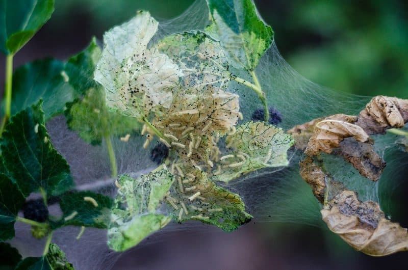 Mulberry Tree Pests and Diseases