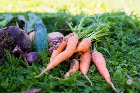 what to plant in September carrots
