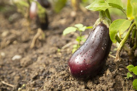 what to plant in aubergine in September