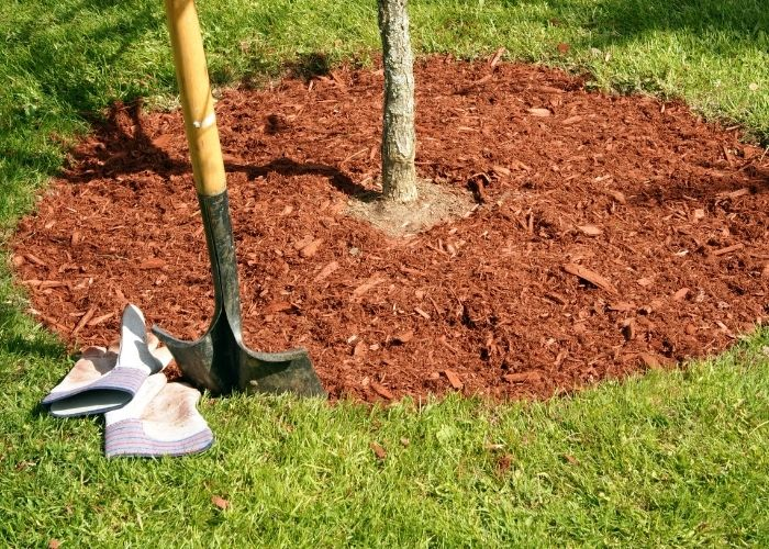 11. Top dressing the planting area with mulch Jacaranda