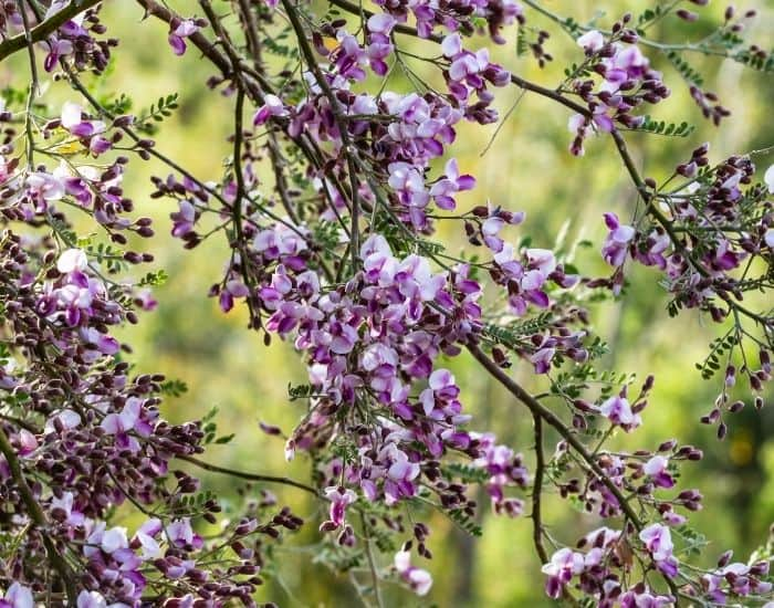 8. flowers of an ironwood