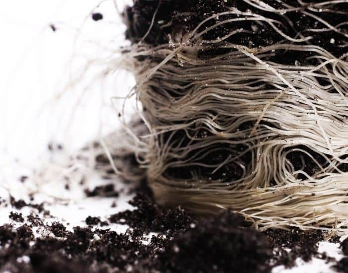 11. roots that are white in color ironwood
