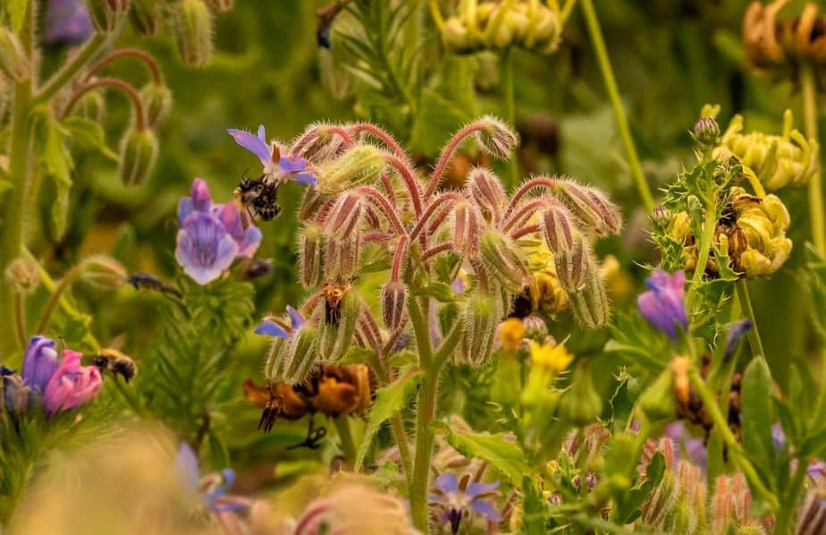 5 Bee bush is popular with pollinators such as bees