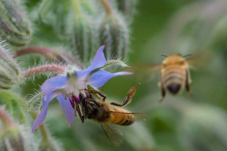 6 As well as being an attractive plant with edible flowers and foliage these are also popular plants amongst pollinators