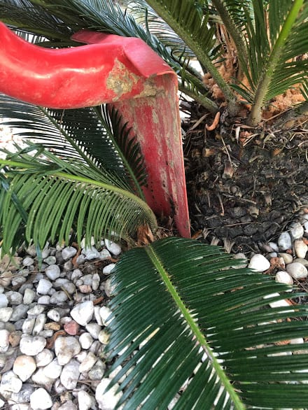4 Separating pup from sago palm