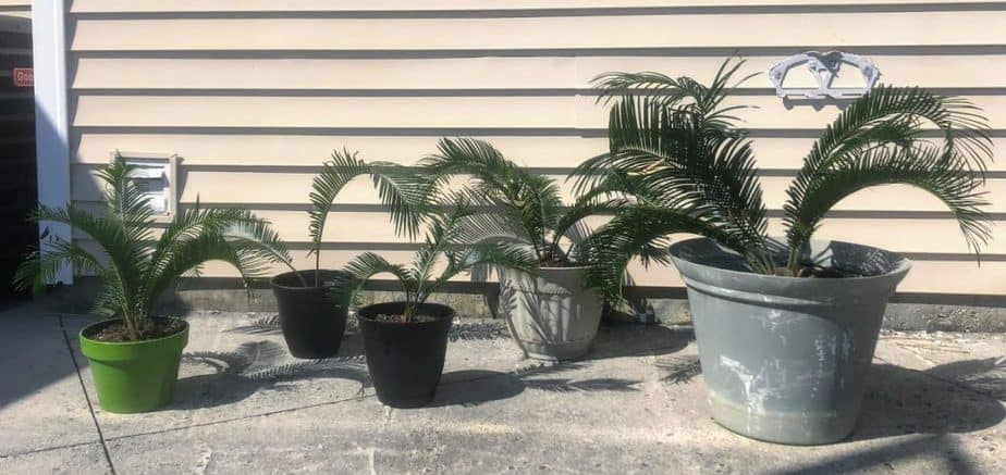 5 Potted sago palms