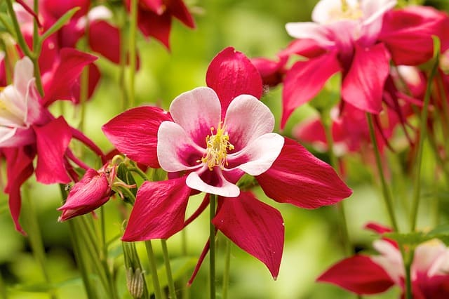 9. Lots of Red Columbines