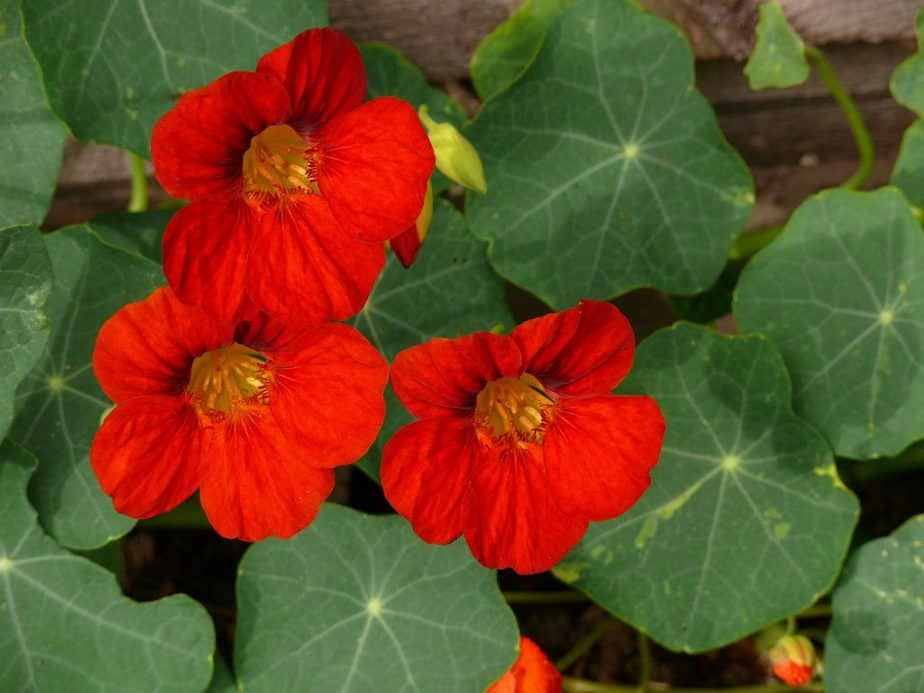 6 Planting trap plants such as nasturtiums alongside your crops will help to protect your plants from pest infestations