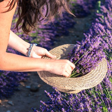 Woman picking up lavender flowers, close-up