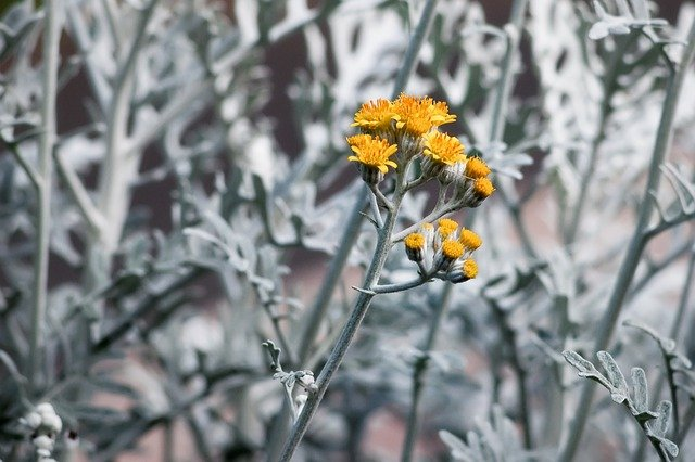 1 Silver foliage and yellow flowers