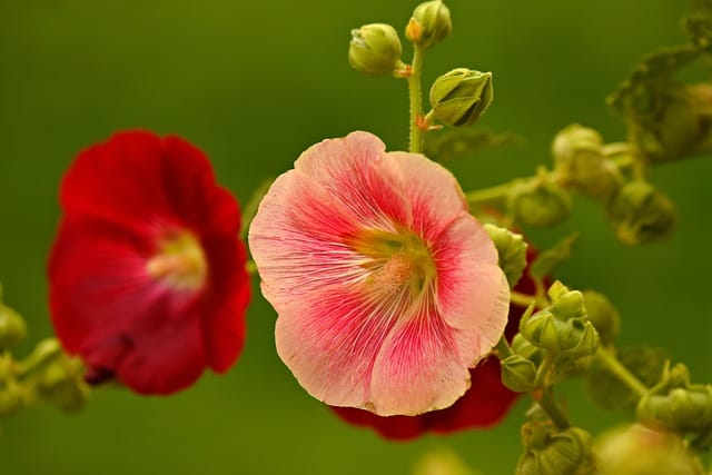 1 Stately and elegant hollyhocks are a great way to add color and structure to your garden
