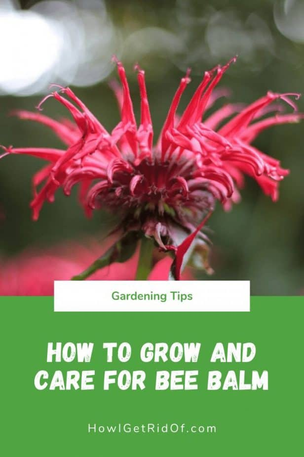 How to Grow and Care for Bee Balm
