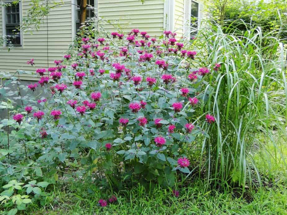 4 Large Bee Balm Patch