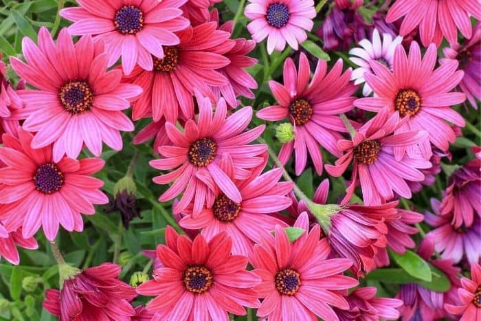 14. african daisies